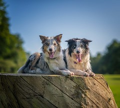 Buddies (Chris Willis 10) Tags: will doggonight star waltonhall dog pets animal outdoors sheepdog bordercollie canine purebreddog mammal friendship cute domesticanimals nature puppy grass playful fun summer brown looking treestump