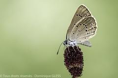 Azuré de la sanguisorbe - Scarce large blue (dom67150) Tags: alsace azurédelasanguisorbe basrhin butterfly france herbsheim insecte nature papillon phengaristeleius ried scarcelargeblue o