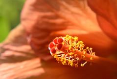 Hibiscus (ClaudioPapaPhotography) Tags: milano milan flower flowers fiori fiore ibisco hibiscus macro nikon