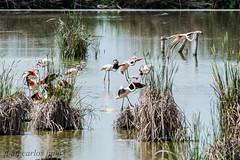 FLAMENCOS (juan carlos luna monfort) Tags: aves pajaros deltadelebro deltadel´ebre rietvell laguna nikond810 sigma150500 calma paz tranquilidad bird birds birding
