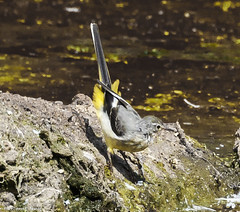 Grey Wagtail (pootlepod) Tags: canon 1dxmkii 7dmkii wildlife rspb rspbsouthwest heron feeding moorhen juvenile greywagtail wagtail grey nature raw natural fauna river exe estuary feather birds perched waterfowl