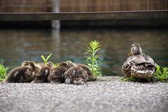 Canards en famille (havez.jerome) Tags: oiseau bird canard duck alsace