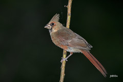 Northern Cardinal (jt893x) Tags: 150600mm bird cardinal cardinaliscardinalis d500 jt893x nikon nikond500 northerncardinal sigma sigma150600mmf563dgoshsms songbird