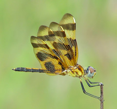 Halloween pennant, golden male (Vicki's Nature) Tags: halloweenpennant male dragonfly bronze golden brown spots stripes wings wingsup biello georgia vickisnature canon s5 9614 return returndamn