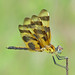 Halloween pennant, golden male