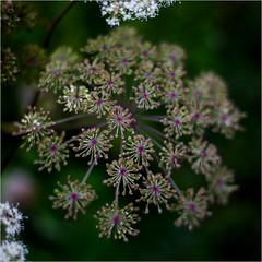 Angelica sylvestris (blasjaz) Tags: blasjaz botanik fruchtstand engelswurz apiaceae heilpflanze gewürzpflanze patternsinnature