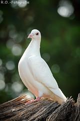 Weiße Taube / White Pigeon (R.O. - Fotografie) Tags: weise taube white pigeon vogel bird rofotografie vogelpark heiligenkirchen bokeh outdoor outside panasonic lumix dmcgx8 dmc gx 8 nahaufnahme closeup close up leica 100400mm detmold