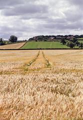 Field of Gold (Howie Mudge LRPS BPE1*) Tags: aylesbury waddesdon england travel field wheat barley landscape nature minolta dynax7 maxxum7 minolta24105mm kodakcolorplus200 analog analogphotography 35mm 35mmfilmphotography 35mmfilmcamera slr film filmphotography