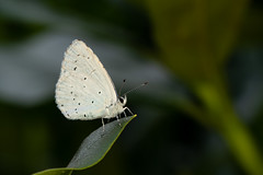 Holly blue (Jens Hyldstrup Larsen) Tags: skovblåfugl hollyblue celastrinaargiolus sommerfugle lepidoptera blåfugle lycaenidae