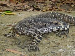 Goanna ! (Uhlenhorst) Tags: 2007 australia australien animals tiere travel reisen