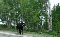Gefleckt - Spotted (ivlys) Tags: usa utah dixienationalforest espe aspen baum tree rind cow tier animal gefleckt spotted landschaft landscape natur nature ivlys