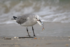 Laughing Gull (Kevin James54) Tags: nikon500mmpff56 nikond850 wilmington wrightsvillebeach animals avian bird kevingianniniphotocom