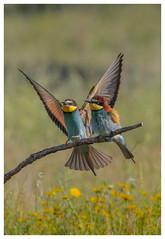 European Bee Eaters - (Merops apiaster)- 'Z' for zoom (hunt.keith27) Tags: meropsapiaster europeanbeeeater rainbow spain extramedura canon sigma perched beautiful bird eos7dmk2 extremadura