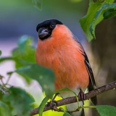 Tiere&Insekten_15 (NiBe60) Tags: vogel gimpel sperling dompfaff blutfink singvögel männchen bullfinch