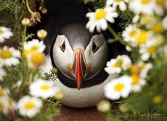 Atlantic Puffin (Nigel Hodson) Tags: canon 1dx 100400mmmk11 puffin atlanticpuffin skomer wildlife wildlifephotography nature naturephotography birds birdphotography bird seabirds