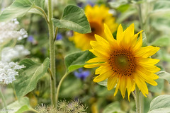 31072019-DSC_0016 (vidjanma) Tags: 1fleur jaunes tournesols