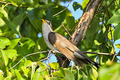Yellow-billed Cuckoo (jt893x) Tags: 150600mm bird coccyzusamericanus cuckoo d500 jt893x nikon nikond500 sigma sigma150600mmf563dgoshsms yellowbilledcuckoo