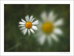 Daisy (G. Postlethwaite esq.) Tags: dof mickleoverfootpath unlimitedphotos bokeh closeup daisy depthoffield flower photoborder plant selectivefocus