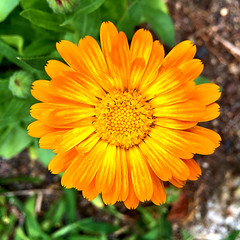 radiance (77ahavah77) Tags: bloom blossom flower gold yellow outside nature