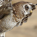 African wood owl, or Woodford's owl, Strix woodfordii, at Dullstroom Bird of Prey & Rehabilitation Centre (captive, tame, flown).