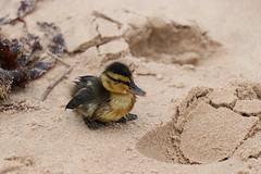 Duckling on the Beach (steve_whitmarsh) Tags: moray cullen beach sand coast nature wildlife animal duck duckling topic