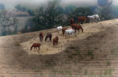 Pastando (candi...) Tags: caballos pastando campo airelibre naturaleza nature arboles cielo sonya77ii