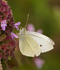 Small white (Matt C68) Tags: oxford oxforduniversity oxfordbotanicgardens botanicgarden butterfly insect smallwhite pierisrapae