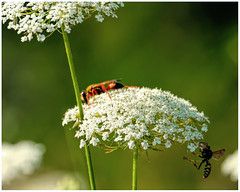 reminds me of a Pixar movie... (marneejill) Tags: red ant wasp white weed nature insect green pretty colourful