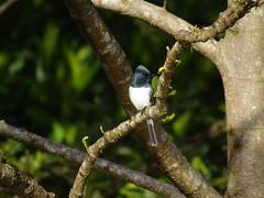 Daintree '19 (faun070) Tags: daintreeriver leadenflycatcher wildlife bird myiagrarubecula