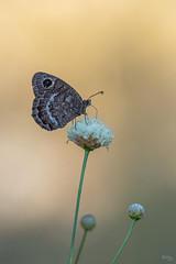 Petite coronide (Richard Holding) Tags: butterfly m43 myolympus oeilsauvage olympus omd papillon richardholding black satyr petite coronide
