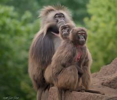 three Dscheladas are waiting... (sigridspringer) Tags: natur tiere säugetiere primaten blutbrustpaviane dscheladas tierpark friedrichsfelde