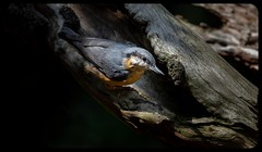 NUTHATCH (pitkin9) Tags: bird nuthatch wildlife woodlands makemesmile