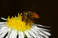 Hoverflies: Action (Astral Will) Tags: bug insect fly hoverfly mating flower easterndaisyfleabane rough insecthumpday macro hihd