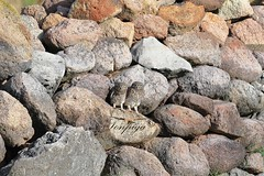 mimetismo (Tonpiga) Tags: tonpiga uccelliinlibertà faunaselvatica rapace predatore civetta athenenoctua birds fotoinnatura
