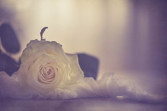 Soft and white (Ro Cafe) Tags: stilllife flower rose white backlight textured romantic nikkor105mmf28 sonya7iii