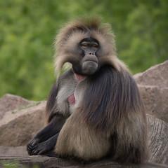 he is relaxing (sigridspringer) Tags: natur tiere säugetiere primaten dscheladas blutbrustpavian dscheladamännchen tierpark friedrichsfelde