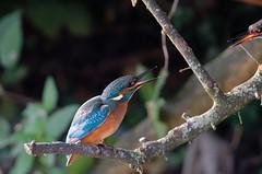 martin-pêcheur en duo / Alcedo atthis A9A_9061 (Bernard Fabbro) Tags: martinpêcheur kingfisher eisvogel oiseau bird alcedo atthis