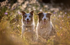 In a Summer Meadow (Chris Willis 10) Tags: will bokeh star dog pets animal outdoors canine purebreddog cute grass mammal bordercollie nature friendship domesticanimals puppy sheepdog summer fun playful shepherd collie meadow wildflowers