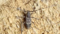 Acanthocinus reticulatus M (kahhihou) Tags: taxonomy:kingdom=animalia animalia taxonomy:phylum=arthropoda arthropoda taxonomy:subphylum=hexapoda hexapoda taxonomy:class=insecta insecta taxonomy:subclass=pterygota pterygota taxonomy:order=coleoptera coleoptera taxonomy:suborder=polyphaga polyphaga taxonomy:infraorder=cucujiformia cucujiformia taxonomy:superfamily=chrysomeloidea chrysomeloidea taxonomy:family=cerambycidae cerambycidae taxonomy:subfamily=lamiinae lamiinae taxonomy:tribe=acanthocinini acanthocinini taxonomy:genus=acanthocinus acanthocinus taxonomy:species=reticulatus taxonomy:binomial=acanthocinusreticulatus acanthocinusreticulatus kozlíčekmřížkovaný taxonomy:common=kozlíčekmřížkovaný