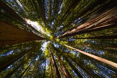 Redwood Forest (LutzSchramm) Tags: california kalifornien leicam10 nordamerika usavereinigtestaatenvonamerika unitedstatesofamerica voigtländerhyperwideheliar10mmf56vm myersflat vereinigtestaaten