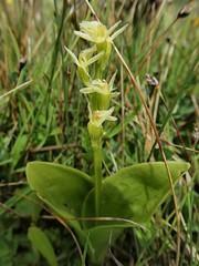 Liparis loeselii (L.) Rich. - Fen orchid (Peter M Greenwood) Tags: liparisloeselii fenorchid liparis loeselii fen orchid
