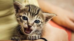 Picasso (Paulo S. Gonçalves) Tags: canoneos1000d chat paulosgonçalves animal cat chaton felino félin gatinho gato litle