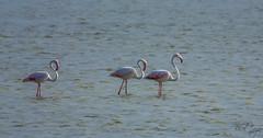 Greater flamingo (Bilel Tayar) Tags: flamingo greaterflamingo phoenicopterusroseus flamant flamantrose bird birds birdsofafrica wildlifephotography nikond5200 sigma150600 algeria nature ornithologie ornithology ornitho skikda