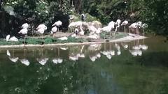 flamingos (sftrajan) Tags: zoo lyon france birds 2019 parcdelatêtedor birdbrained avians flamingos flamingo waders flamingoes phoenicopteridae oiseauxaquatiques flamants flamencosmayores