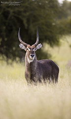 Waterbuck - Kruger National Park (BenSMontgomery) Tags: waterbuck kruger national park male buck satara south africa wildlife light portrait horns
