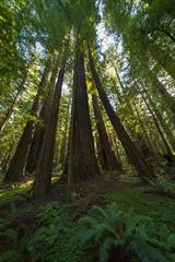 Redwood Forest (LutzSchramm) Tags: california kalifornien leicam10 nordamerika usavereinigtestaatenvonamerika unitedstatesofamerica voigtländerhyperwideheliar10mmf56vm redcrest vereinigtestaaten