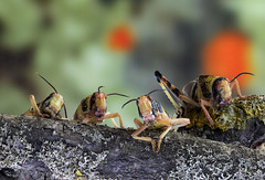 Locusts (or great party) (Peter Warne-Epping Forest) Tags: closeup photoday coppedhall peterwarne stacking insect