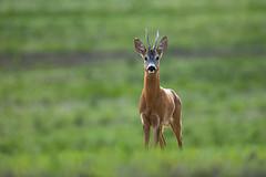 Called in (adambotond) Tags: roedeer roe deer capreoluscapreolus buck animal ruminant outdoor nature naturephotography wildlife wildlifephotography wild wildanimal wilderness adambotond canon canoneos1dx canonef400f4doisiiusm hungary magyarország mammal europe európaiőz europeanroedeer