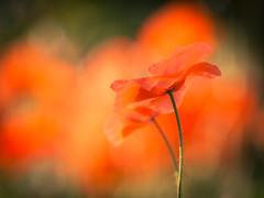 Poppy's (de_frakke) Tags: poppy flower klaproos bloem wild nature bokeh