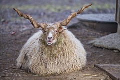 A ram with funny horns (Tambako the Jaguar) Tags: sheep ram male long horns twisted lying posing resting beige portrait face funny plättli zoo frauenfeld switzerland nikon d5